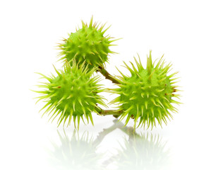 three immature chestnut on a white background