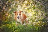 Fototapety border collie dog portrait in spring