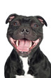 staffordshire bull terrier dog smiling