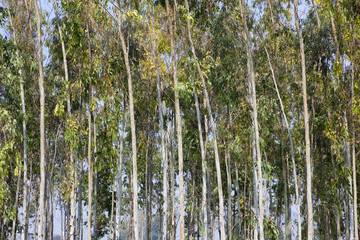 eucalyptus background