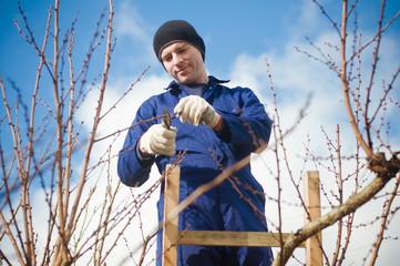 Gardener pruning apricot brunches using ladder