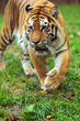 Portrait of the Amur tiger