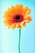 Single orange gerbera daisy