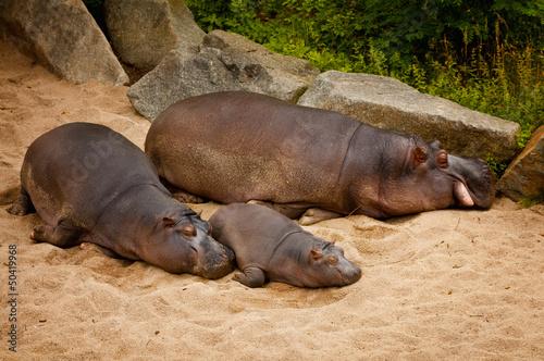 Fotobehang Leeuw family of hippos
