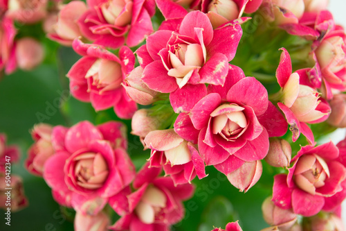 The close up of Kalanchoe bush, flowers