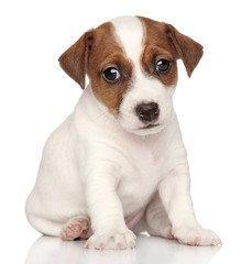 Jack russel on white background