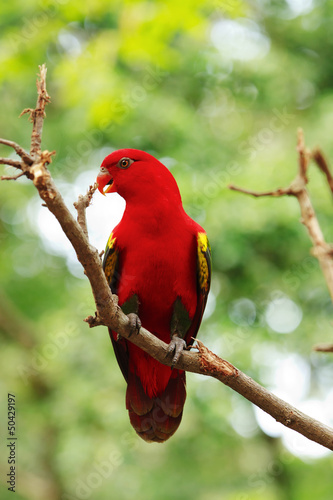 Red Lory standing on a tree branch, parrot