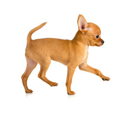 running toy terrier puppy profile