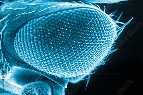 Drosophila eye