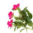 three pink rose