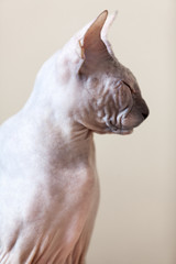 Sphynx cat portrait at profile