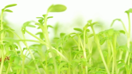 cress sprouts dolly