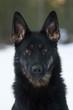 black german sheepdog