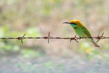 Little Green Bee-eater resting on rusty barbed wire