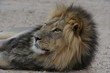 Male lion (Panthera leo) relaxing