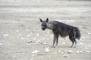 Brown Hyaena (Hyaena brunnea) in the Kalahari desert