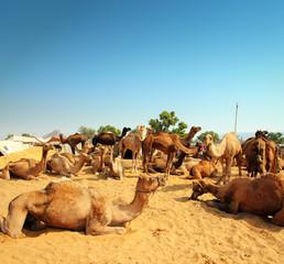 camels during festival in Pushkar