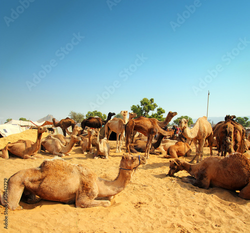 Papiers peints Chameau camels during festival in Pushkar