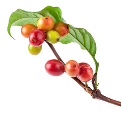 Сoffee beans on a branch of coffee tree, ripe and unripe berries