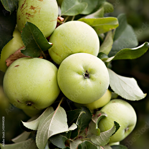 green apples on apple-tree branch