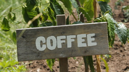 Coffee plant with wooden sign.