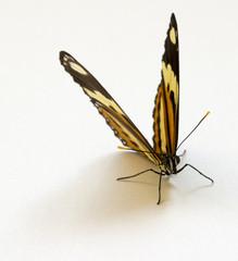 Borboleta abrindo asas