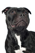 staffordshire bull terrier dog portrait
