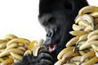 Big hungry gorilla eating a snack of bananas for breakfast