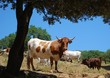 Cows in field, Andalusia, Spain © Arena Photo UK