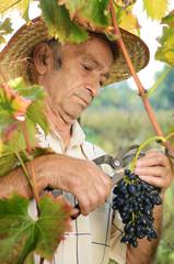 Senior vinedresser