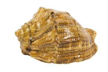 shell on the white background