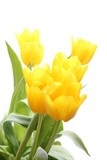 Fresh yellow tulips (white background)
