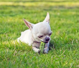 Small cute dog eating cucumber