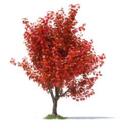 japanese maple 3d illustration
