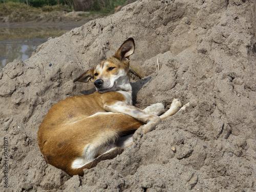 Punjabi dog