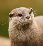 Portrait of an oriental short-clawed otter