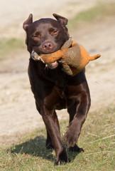Chocolate Labrador Dog Retrieving Toy