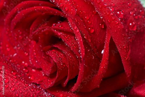 Red rose. © Kurhan