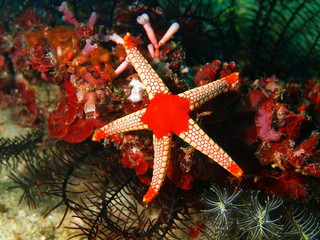 Starfish, Philippine sea