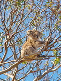 Koala on a tree on the Great Ocean Road