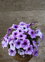petunia flowers against wood background