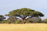 African Acacia tree, Hwange National Park
