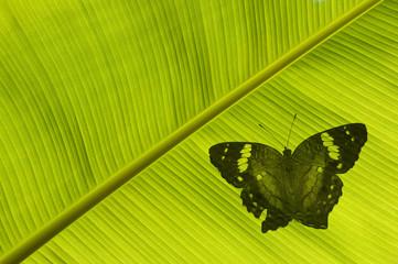 Silhouette de papillon sous une feuille de bananier