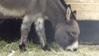 fressender Esel