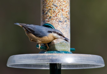 Nuthatch ffeeding from a bird feeder.