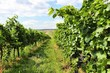 Burgenland vineyards in Austria