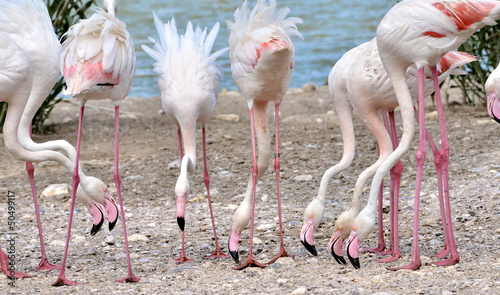 Plexiglas Flamingo Group of flamingos (phoenicopterus) eating on the ground