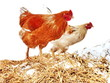 healthy brown chicken farm exempted from