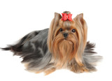 Yorkshire Terrier with long hair