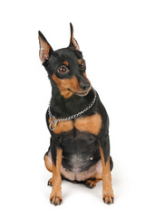 Miniature Pinscher sits on white background